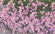 Erigeron 'Sea Breeze' fleabane lovely rich colours masses daisies long flowering