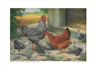 Broiler Cross (Barred Rock & N Hampshire) by A O Schilling 1943 Poultry Tribune