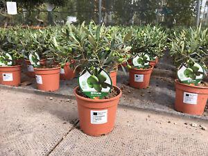 Olive Tree Bush - Olea Europaea 1.5L 20-30cm High (exc pot)