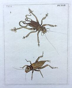 VERY RARE 1773 DRURY Vol.2 TWO BIG CRICKETS Pl43 HandColored Copper Plate XLIII