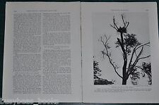 1929 magazine article, The BALD EAGLE, info Nesting Eyre photos etc