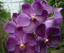 Vanda Pures Wax Blue Bernt .. Stock #279-6