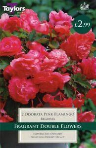 Taylors 2 x Begonia Odorata Pink Flamingo Exotic Bulbs (1 Packet)