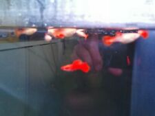 Full Red Albino Guppies Juvenile 4 females + 1 male, pure strain.
