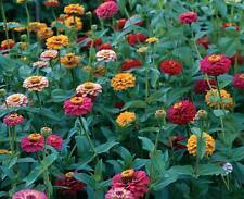 Zinnia ( California Giants ) 100 + Flower Seeds Non GMO Hardy