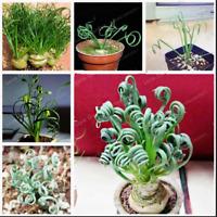Albuca Namaquensis Plants Bonsai Broad Leaf Grass Succulents NEW O 100 Pcs Seeds