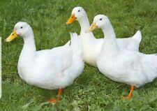 6 Pekin Duck Hatching Eggs For