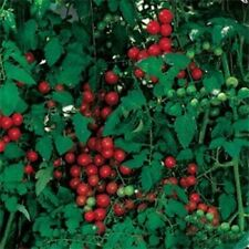 Heirloom SWEETIE Tomato Red Cherry❋100 Seeds❋HIGH YIELDS VIGOROUS VERY SWEET