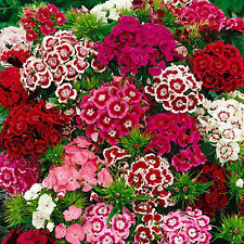 SWEET WILLIAM MIX - 1000 SEEDS - Dianthus barbatus - FLOWER