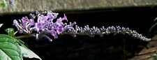 Buxus lindleyana (envoyé en 9cm pot)