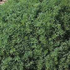 Graines d'Herbe-Camomille romaine de pelouse - 5000 graines