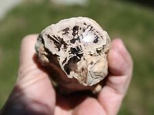 AGATIZED PETRIFIED TREE LIMB FOSSILS FROM EDEN VALLEY - PETRIFIED WOOD LAPIDARY