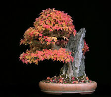 ACER BUERGERIANUM, TRIDENT MAPLE, 25 SEMI, SEMI BONSAI, SEEDS