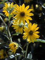 ✿MAXIMILIAN SUNFLOWER Perennial✿200 Seeds✿10 Ft (3m) Tall✿Maximillian✿Flowers