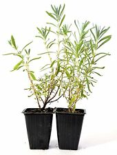 French Lavender - 2 Pack Aromatic Scent Mature Hardy Culinary