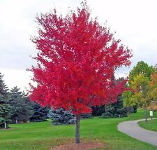 25 SIBERIAN MAPLE TREE Acer Ginnala Seeds Red Leaves + Gift & Comb S/H