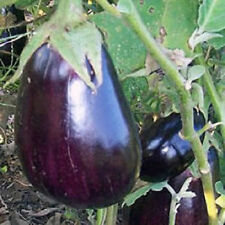 1,000 Eggplant Seeds Black Beauty Egg Plant  BULK SEEDS