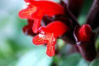 "Aeschynanthus radicans Lipstick Plant Mona Lisa 4"""