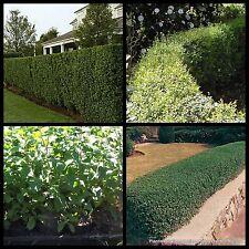 8 Box Leaved Privet Hedge Garden Plants Hardy Fast Screen Ligustrum undulatum