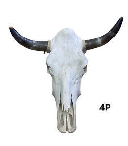 "POLISHED HORNS COW SKULL 21"" X 22""  STEER SKULL HORN,LONGHORN, TAXIDERMY 4P"