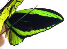 Unmounted Butterfly/Papilionidae - Ornithoptera priamus poseidon, PAIR 7