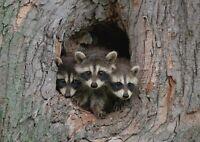 A1 Adorable Raccoon Family Den Poster Art Print 60 x 90cm 180gsm Fun Gift #14944