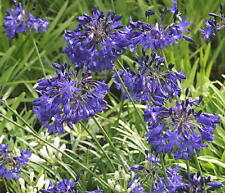 3 New Agapanthus Taw Valley  blue flowers garden perennial plant