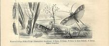 Stampa antica INSETTI Limnophilus rhombicus INSECTA 1891 Old antique print
