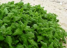 New Zealand Spinach Seeds Organically Grown Heirloom NON GMO
