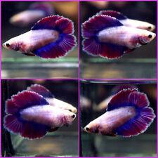 New listing Live Betta Fish Dragon Blue Purple Magenta Double Tail Dt Female C444