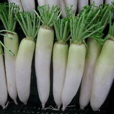 Seeds of Vegetable, Seeds Bank For Home Garden Radish white - Desi Vegetable See