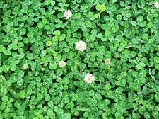 DUTCH CLOVER 1 lb Seed Lawn Groundcover Seeds Low Growing Spreading Bee Rabbit