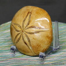 "2.89"" Amazing Petrified Fossil Sand Dollar Sea Biscuit Urchin Reiki Stone, Sdl44"