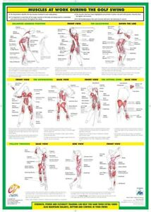 Golf Training Poster Golf Swing Muscle Chart