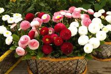 Flower Seeds - Mixed English Daisy Monstrosa Corsican Bellis Perennis - 50 Seeds