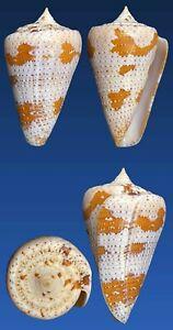 Conus dominicanus Hwass in Bruguière, 1792
