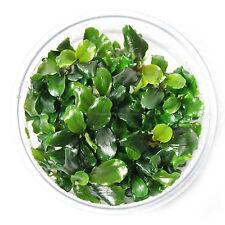 Bucephalandra Green Wavy Leaf in Vitro Culture Rare Live Aquarium Plants Pygmaea