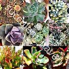 30 Lot Fresh Succulent Cuttings Assorted Varieties 1