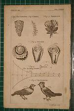 1764 antico stampa ~ tiger-shell Tropaeolum BOTANICA ~ TROCHUS titmouse ~ TRUMPET
