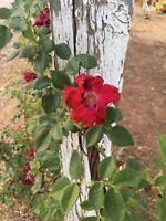 4 x Rose unrooted cuttings17 year old Vintage Heirloom Climbing Rosebush Non-GMO