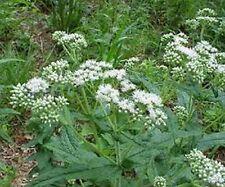 Boneset-  (Eupatorium Perfoliatum)- 100 Seeds
