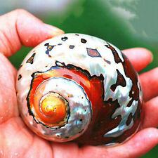 Natürliche Turban Sea Shell Coral Conch Schnecke Startseite Aquarium  Dekor