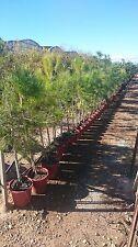 Pinie 110 cm Pinus pinea frosthart -20°C Pinienbaum Nadelbaum  Mittelmeerpinie