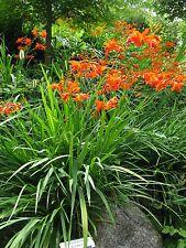 Crocosmia (Montbretia) 100 corms Bright Orange in late summer Hardy Perennial