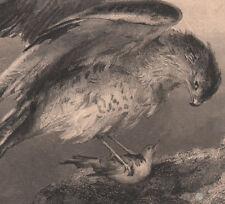 1855 belle gravure Faucon pélerin proie oiseaux Ornithologie