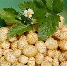🍓 50 Samen Weiße Erdbeere mit Anansgeschmack White Soul Fragaria