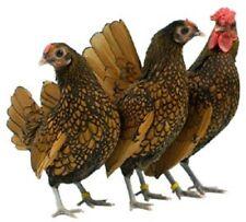 6-Sebright Bantam Chicken Fertilized Eggs
