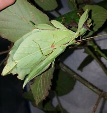 "Phyllium gatungense ""Rizal"" x 30 Eggs, phasmid, leaf insect"