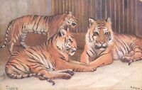 Postcard Tigers early colour Card Raphael Tuck Unposted