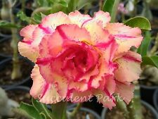 """Rosy Adenium Obesum (Desert Rose) """"Lueang-lai"""" grafted plant"""